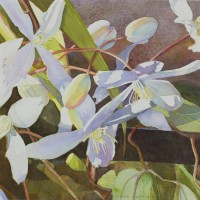Evergreen Clematis I