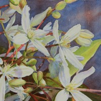 Evergreen Clematis II