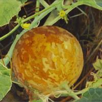 Pocket Melon